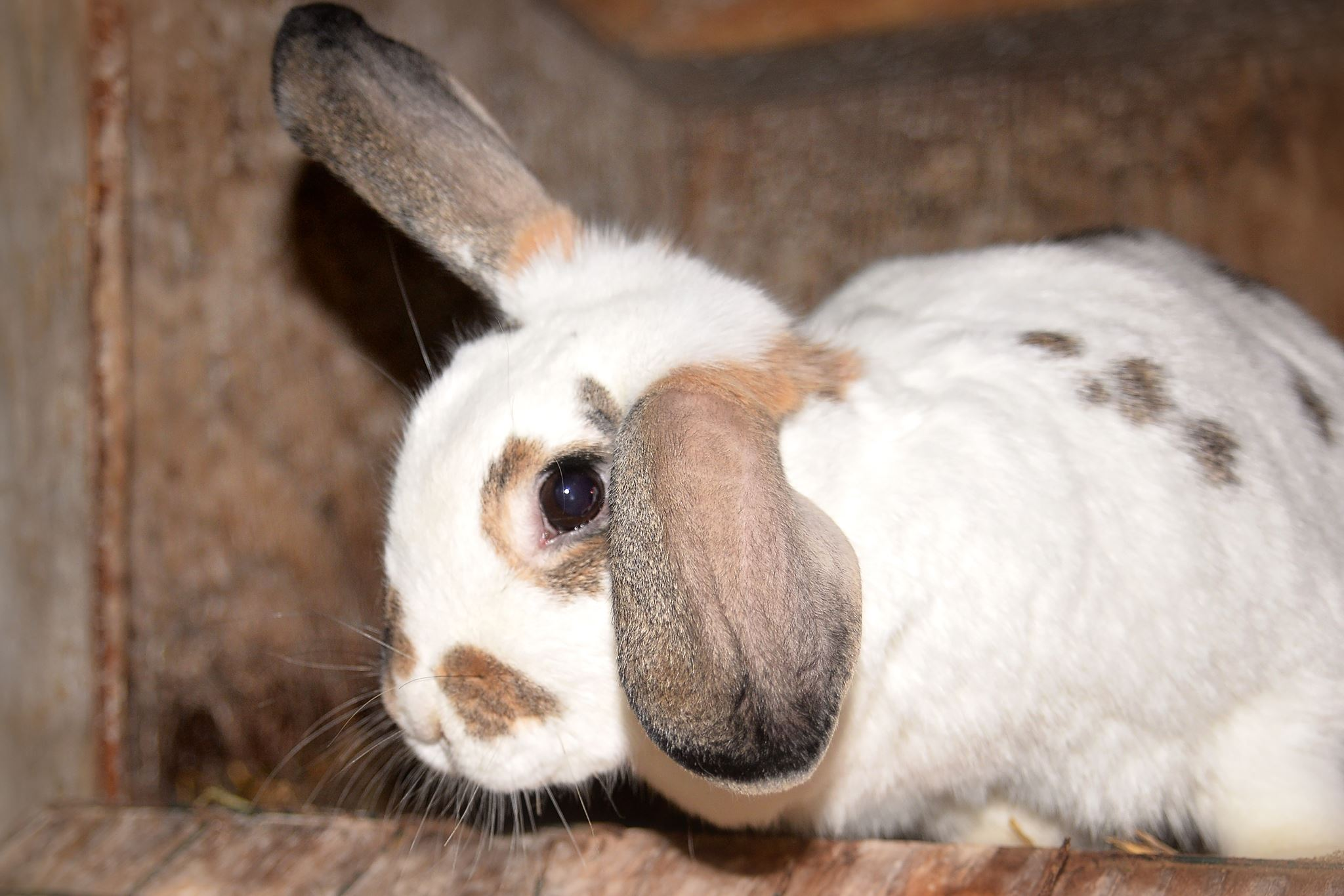 Image of a white bunny